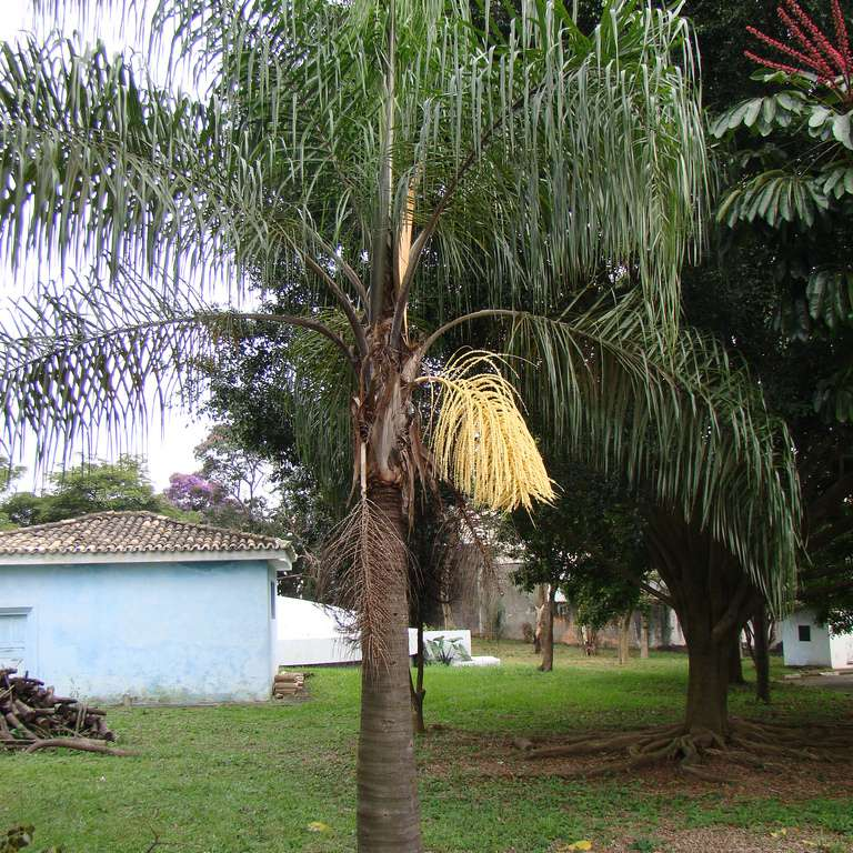 Queen palm with green fronds