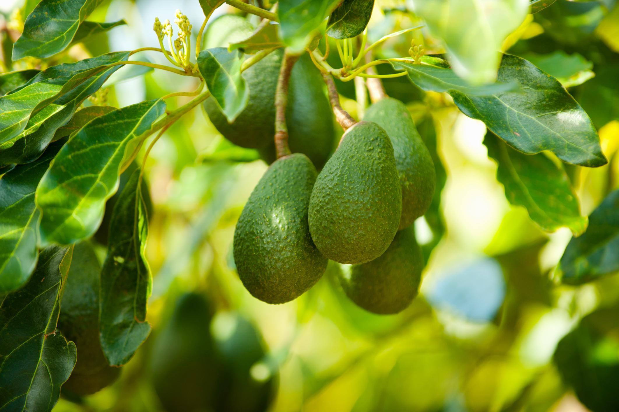 Growing The Avocado Tree Persea Americana