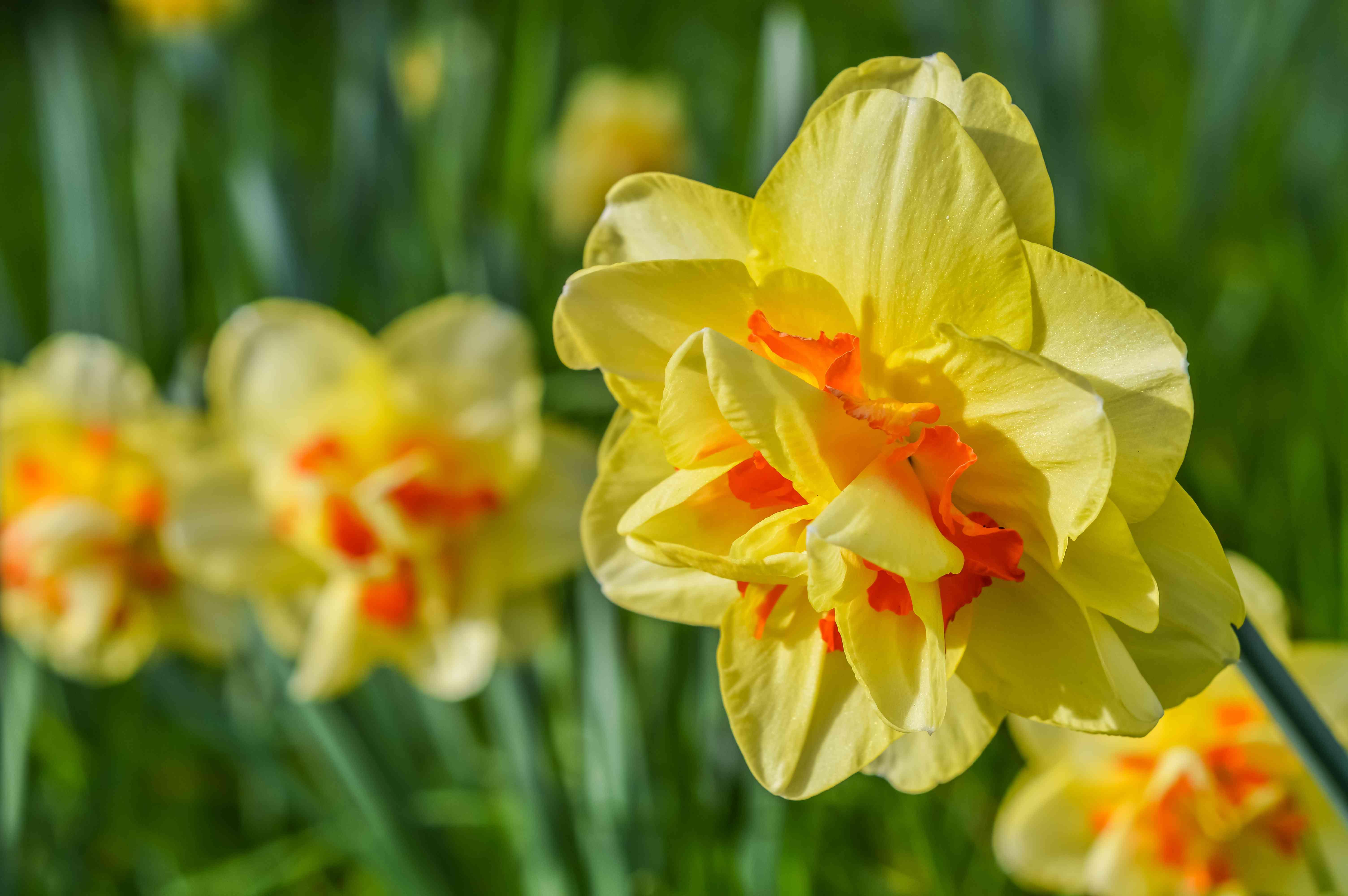 Amazing Narcissus 'Tahiti', un doble narciso híbrido