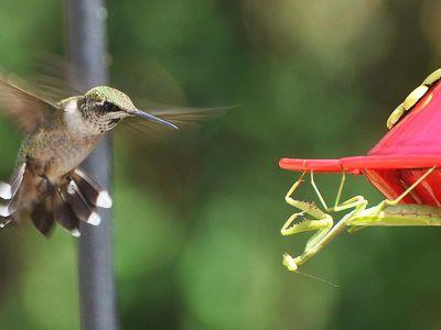 Overview Of Hummingbird Predators