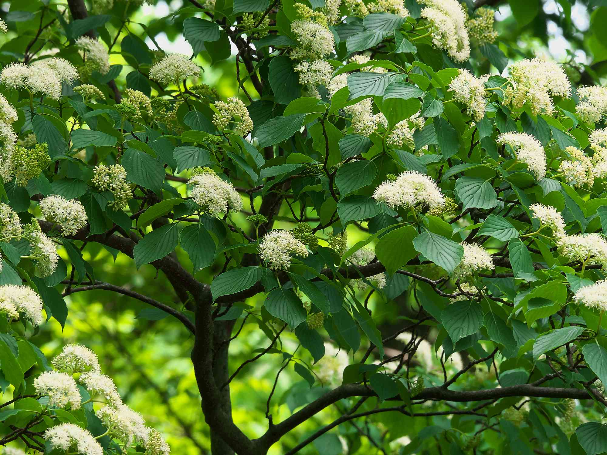 6 Best Dogwoods For Your Landscape