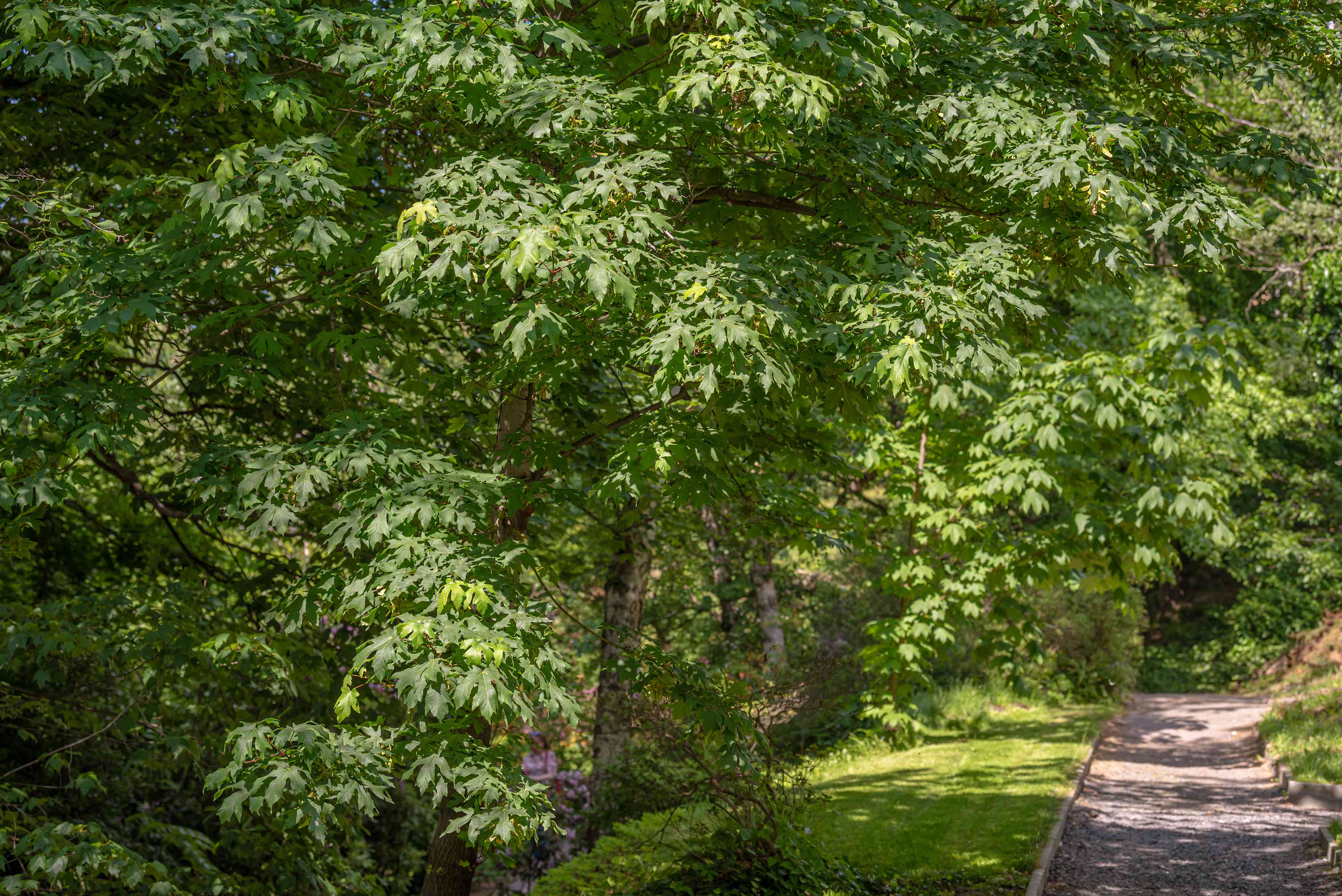 Big leaf maple trees with large green leaves hanging on branches covering pathway