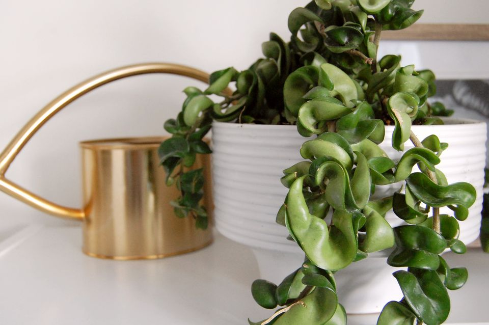 Hindu rope plant with waxy and vine-like foliage hanging over white pot and gold watering can