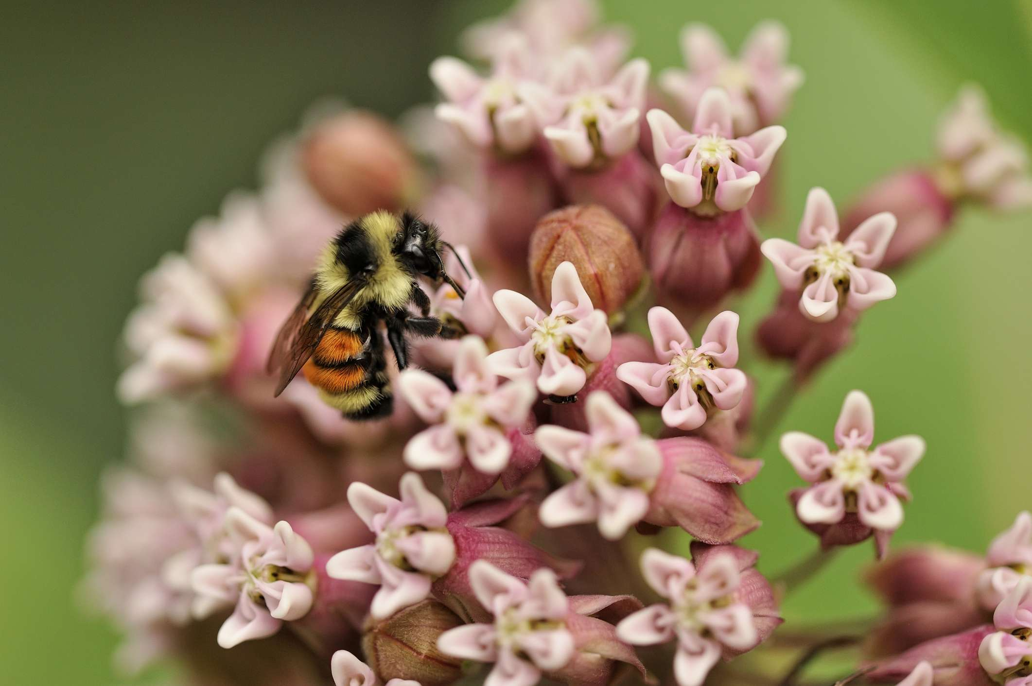 Bumblebee, nectaring on common milkweed