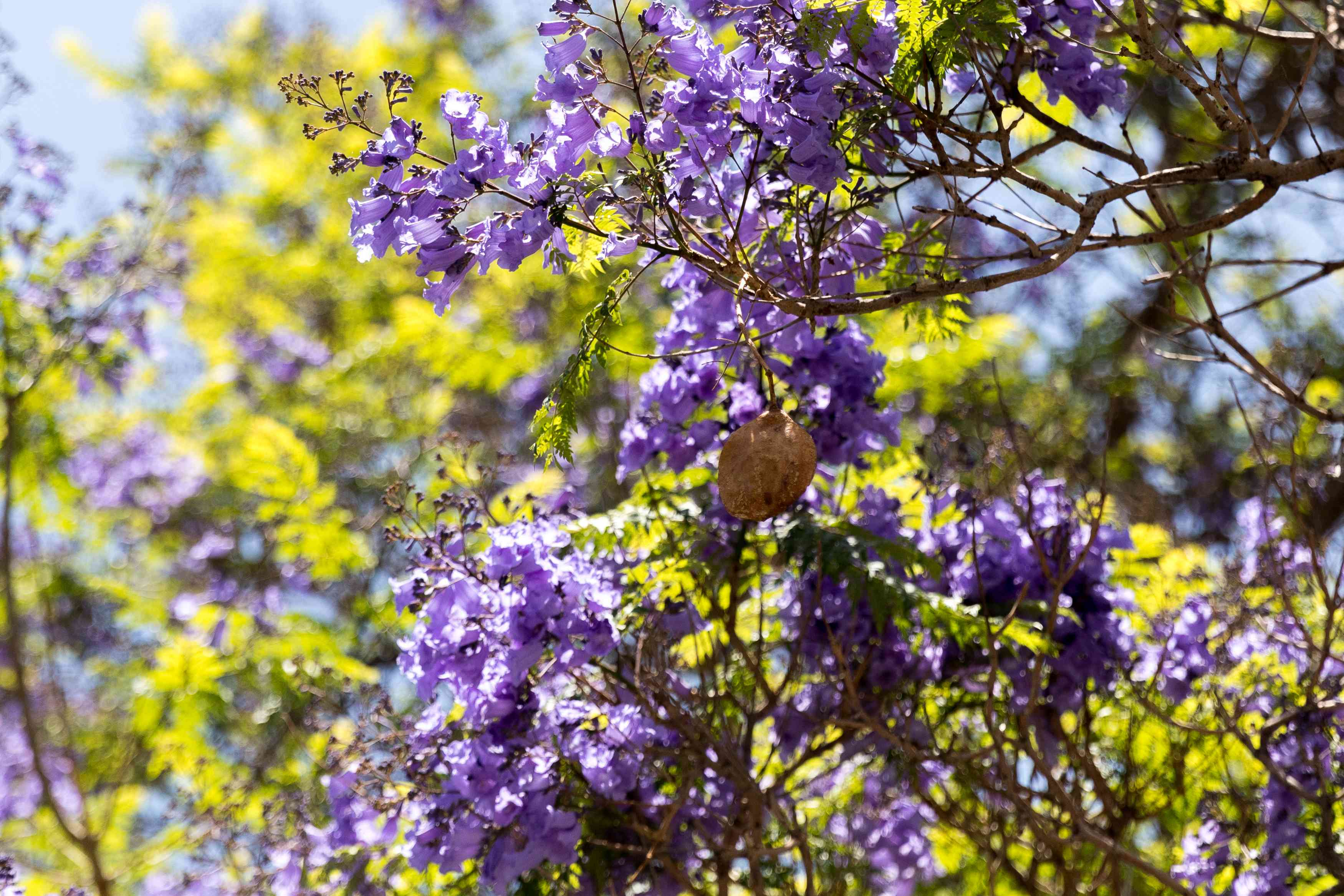 Jacaranda tree branches with purple trumpet-like flowers in front of yellow-green leaves
