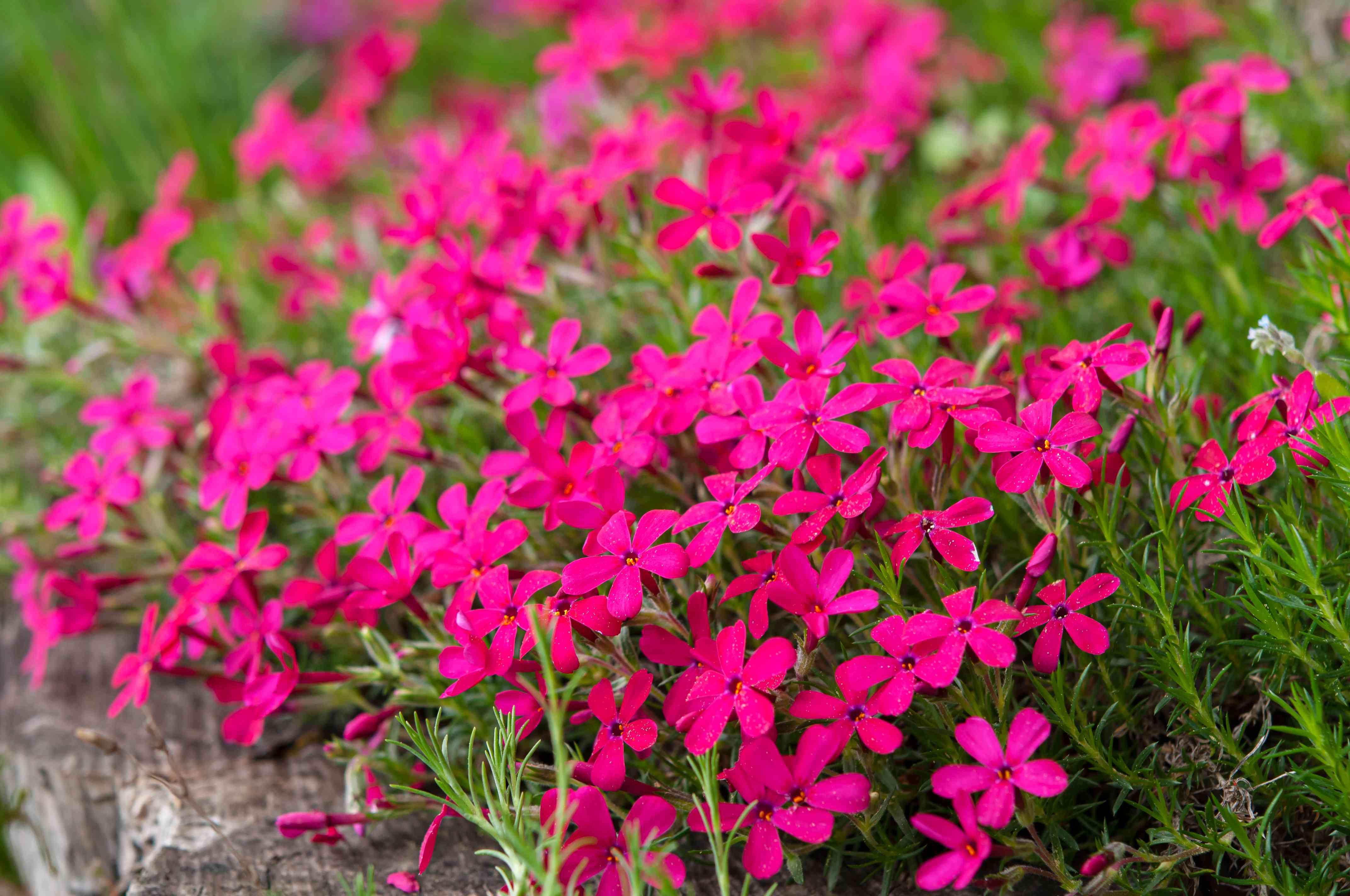 bright pink phlox