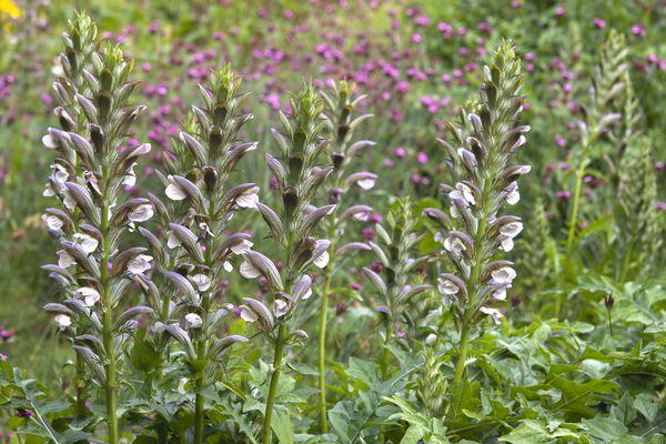 Bears breeches plant with light purple flowers in field