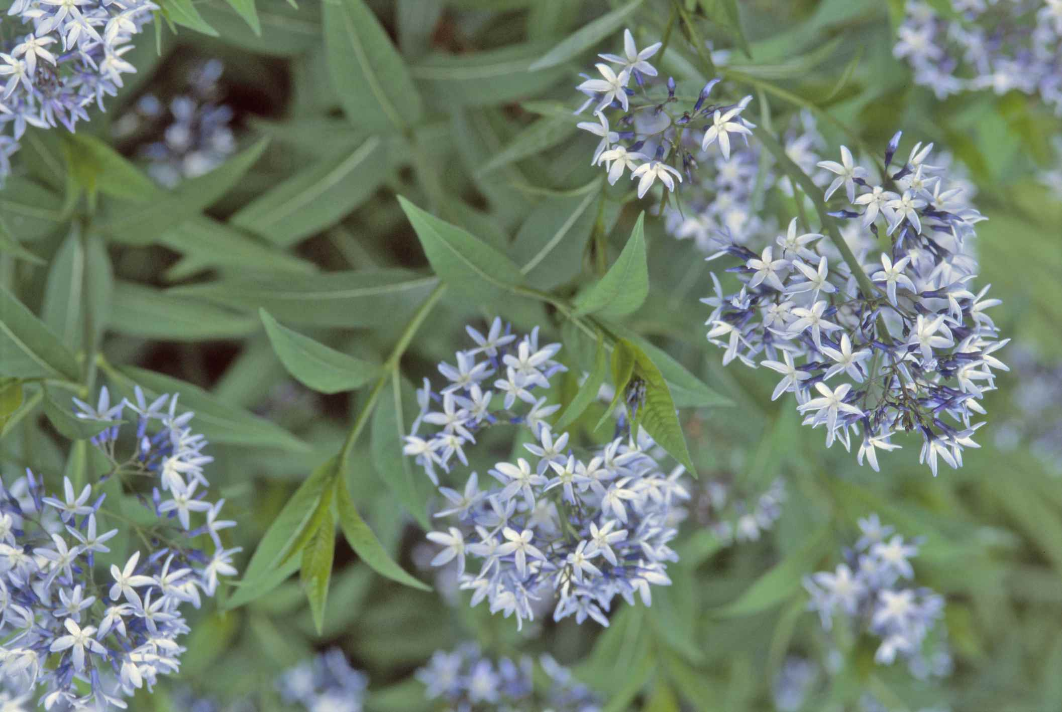 Blue star flower (Amsonia hubrichtii)