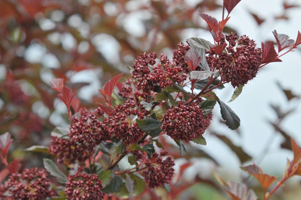 Diablo ninebark shrub branch with dark reddish and green leaves