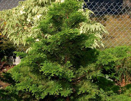 Growing The Umbrella Pine In The Home Garden