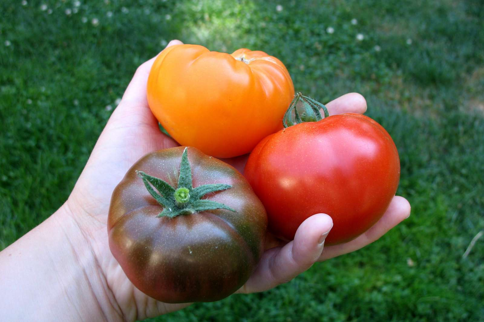 White hand holding 3 tomatoes, red, orange and purple