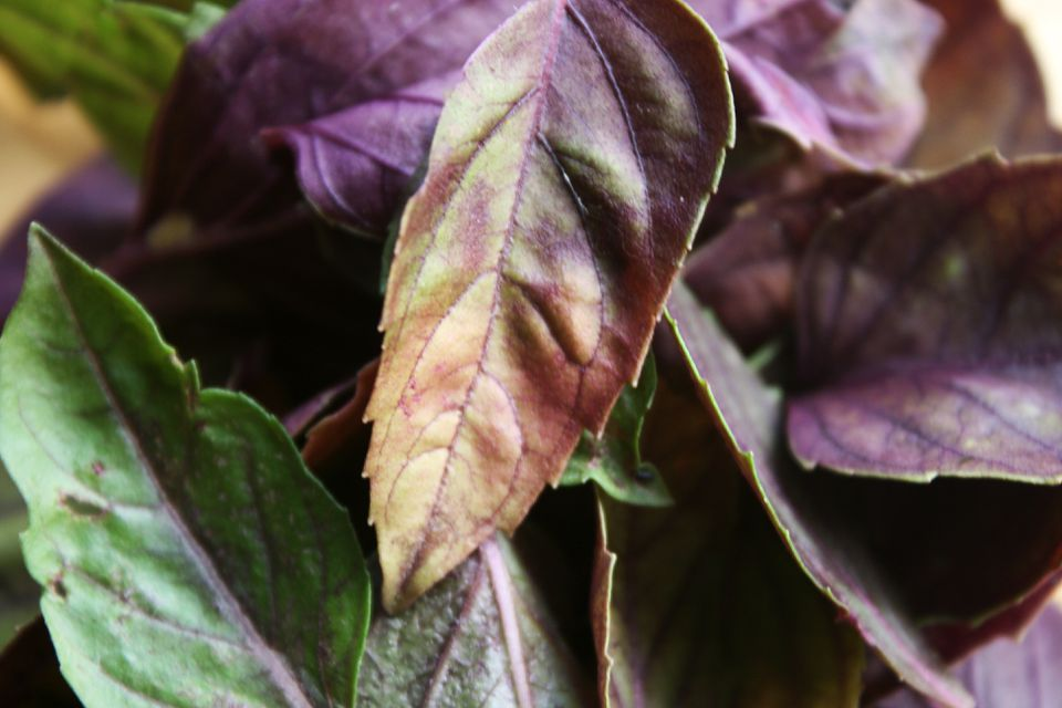 Close up of the leaves of Dark Opal Basil