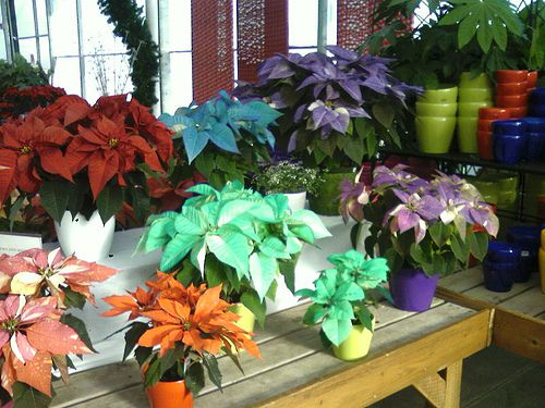 Rainbow Poinsettias Flowers