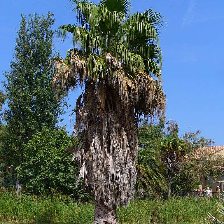 Mexican fan palm with green fronds and decaying fronds