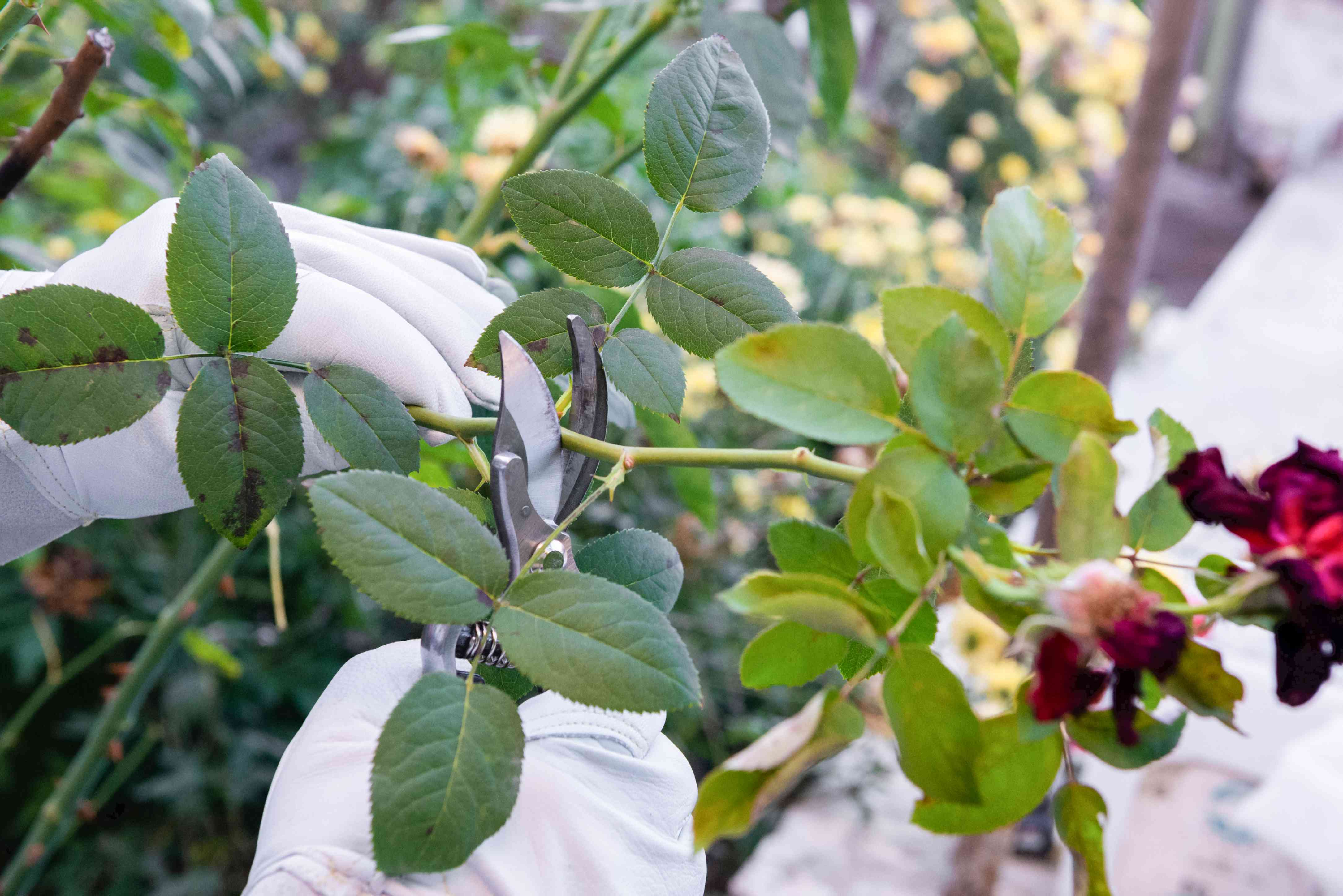 Hybrid tea rose branches being deadheaded with hand pruners