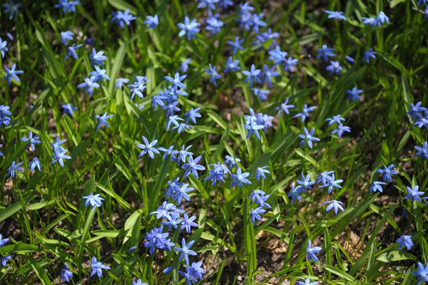 Siberian squill with blue flowers and long leaves in ground
