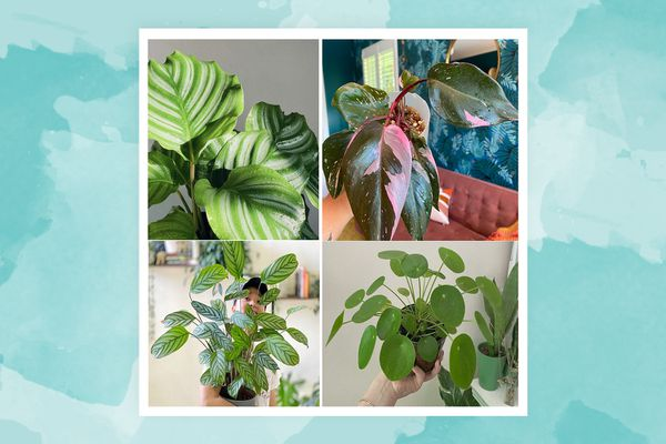 plants these four plant influencers struggle to keep alive include calatheas, pink philodendron princesses, and pileas