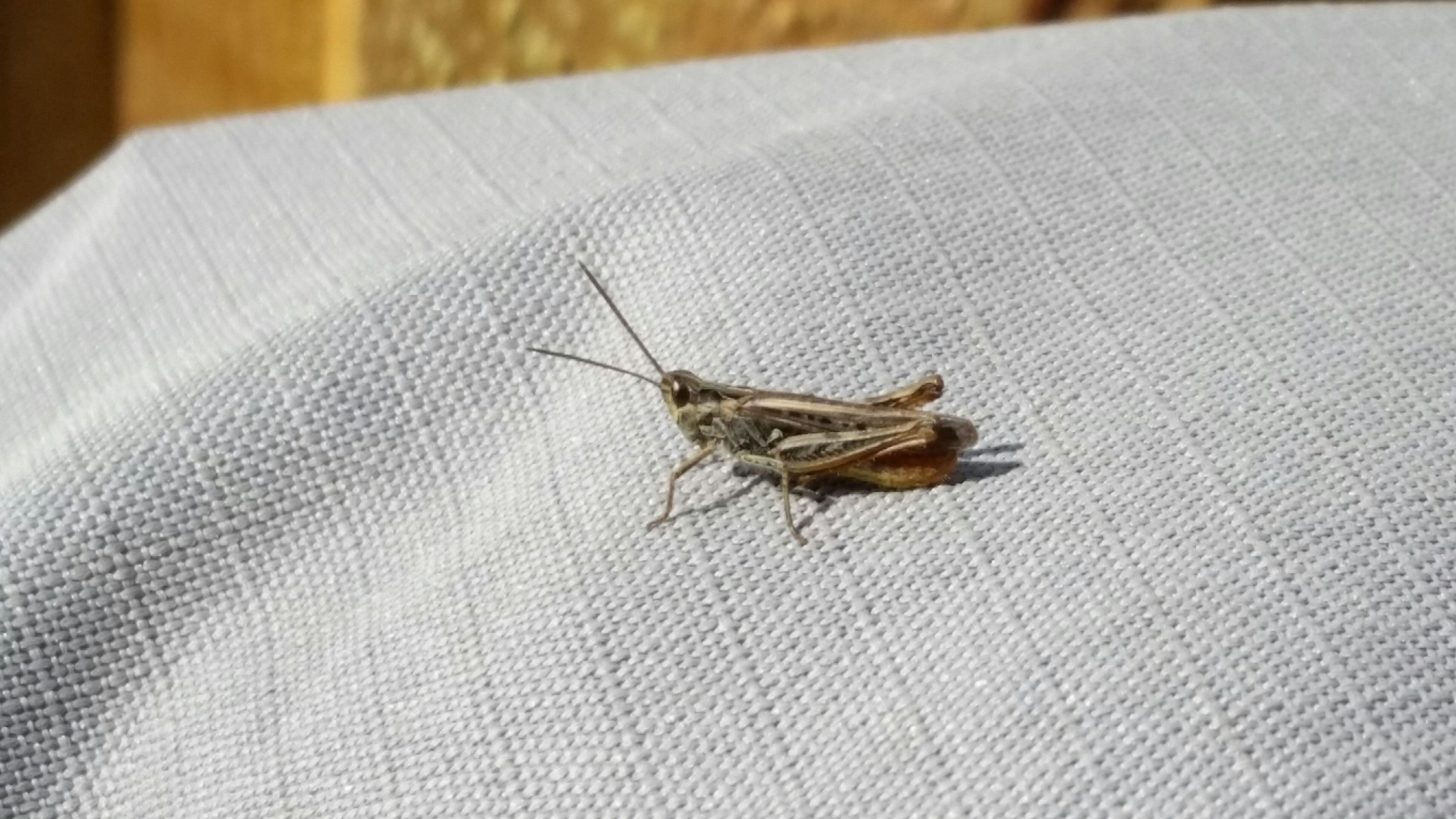 Cricket on a piece of fabric.