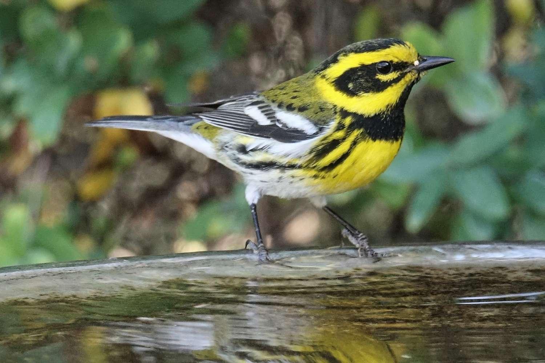 Townsend's Warbler at a Bird Bath