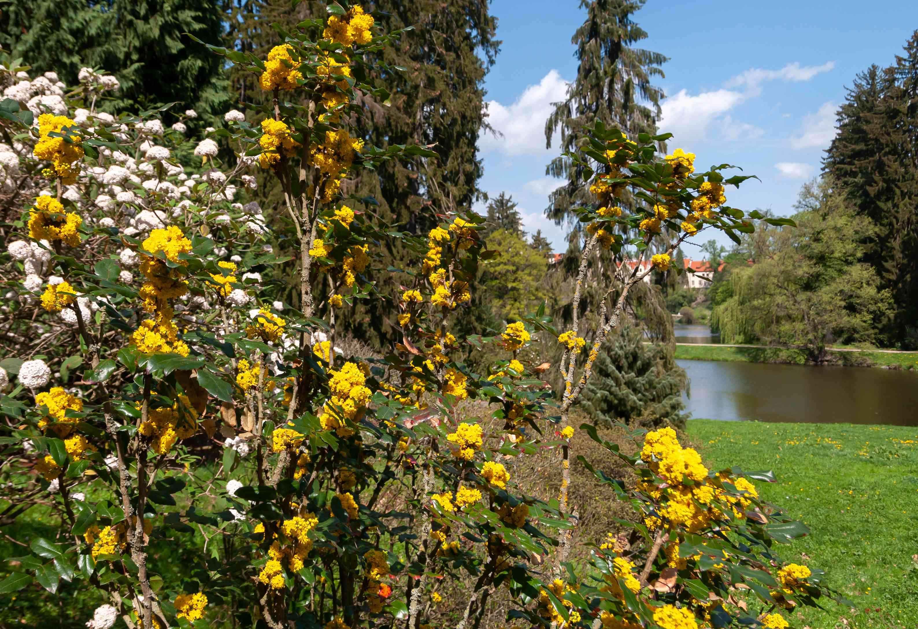 Oregon grape shrub with tall branches and yellow flowers