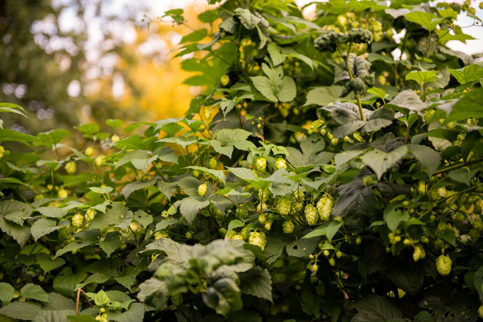Summer shandy hops groundcover plant with light green cone-like strobiles hanging in branches