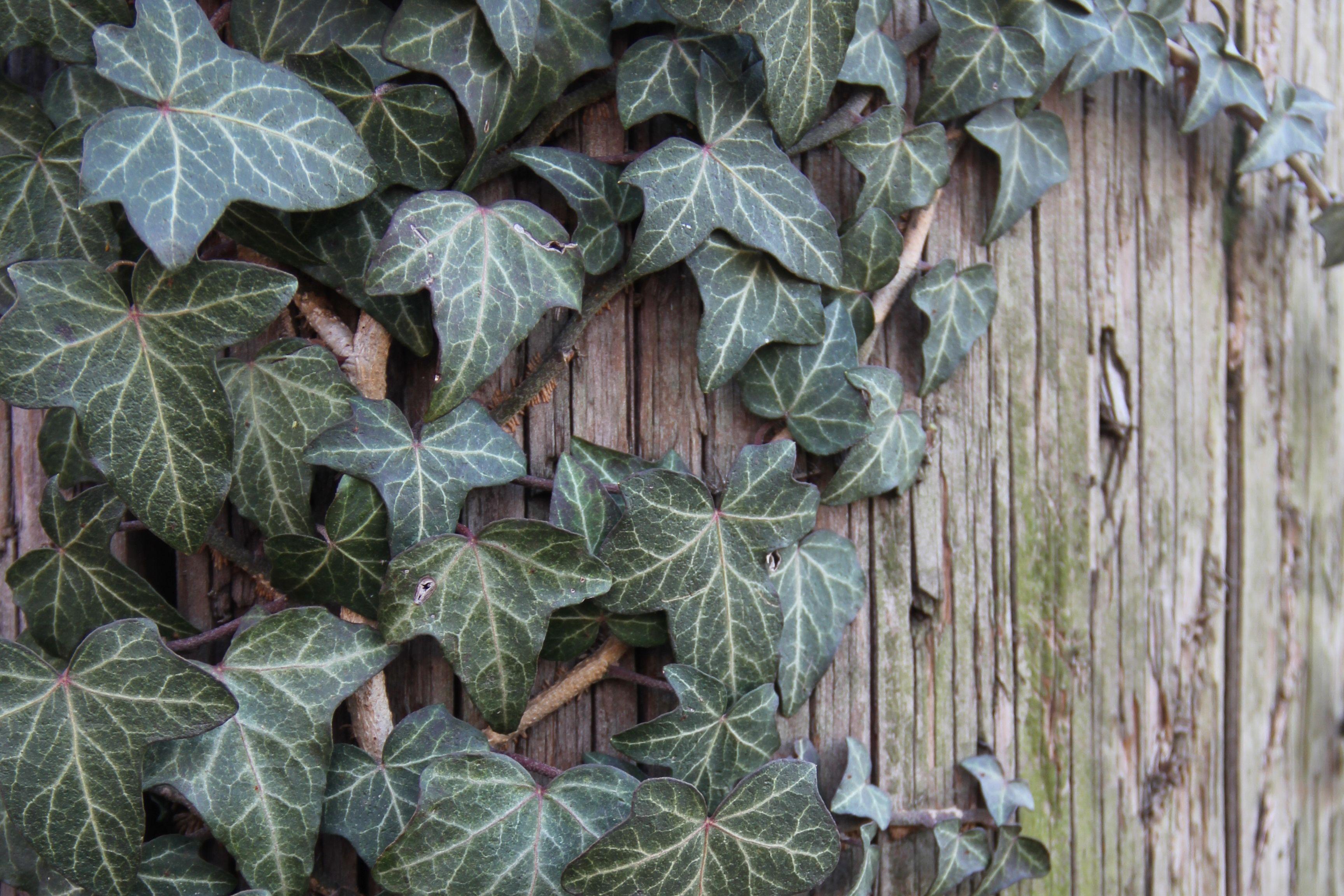 The Basics Growing English Ivy Hedera Helix