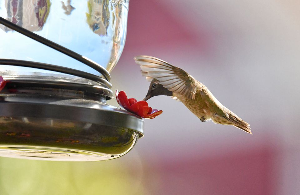 Hummingbird at a home feeder in Texas 3