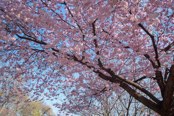 Weeping cherry prunus tree with pink flowers in branches