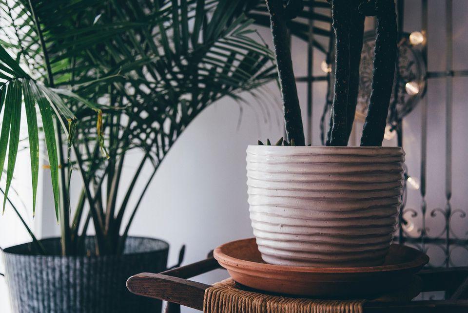 A potted majesty palm (Ravenea rivularis) beside a cactus