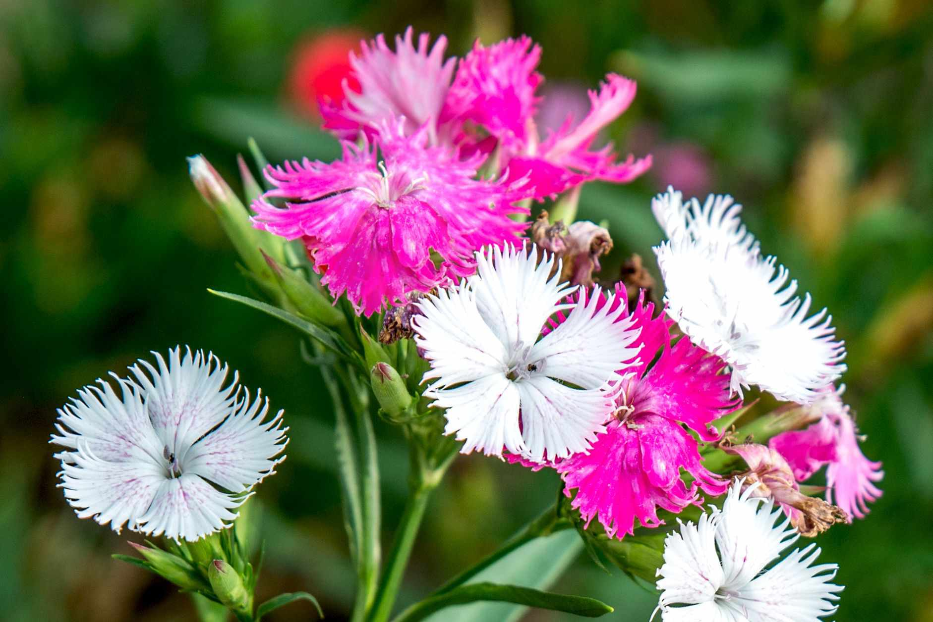 Dianthus flowers with white and bright pink colored petals in garden closeup