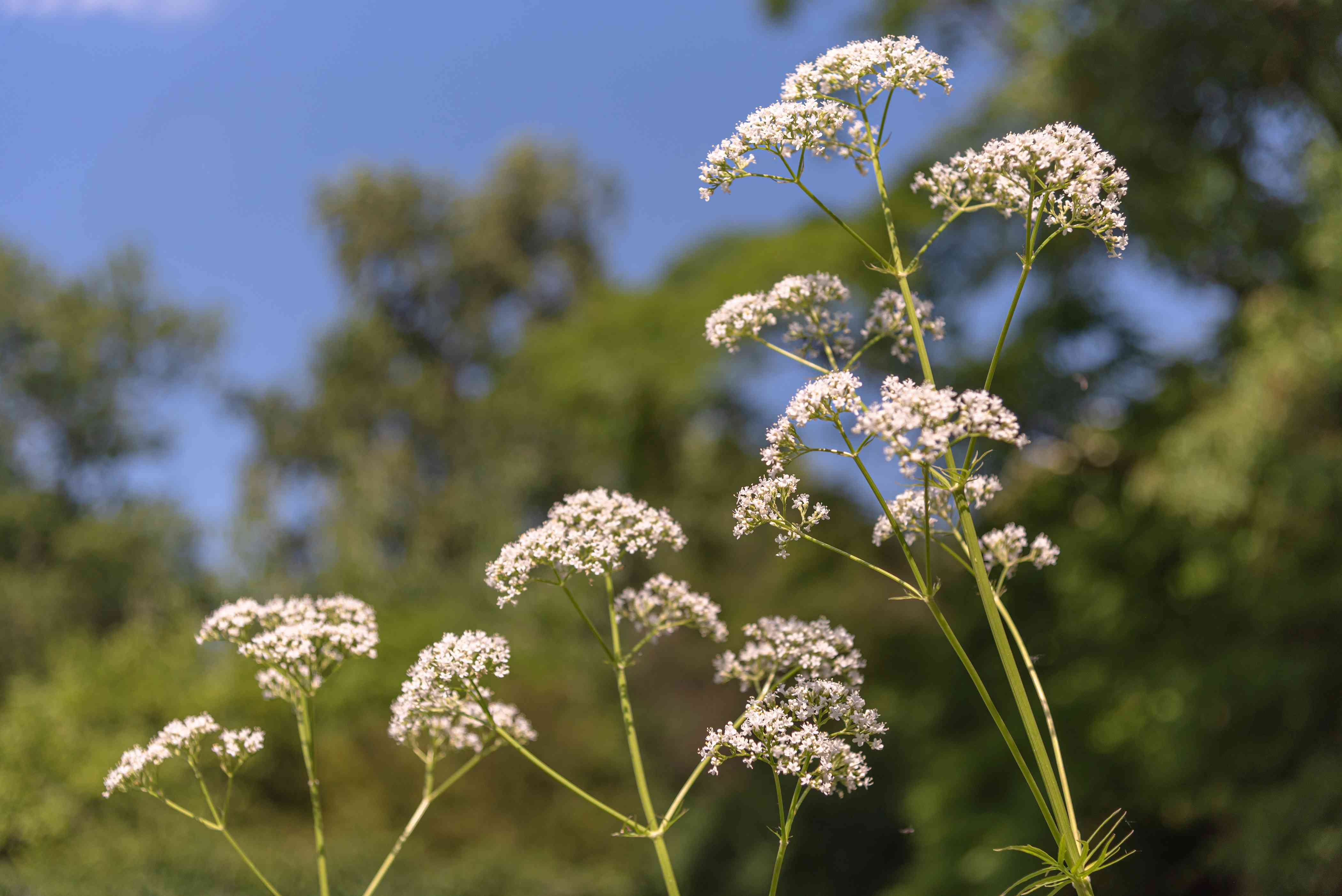 Valerian plant with thin flower stalks and small white flower clusters on top in sunlight