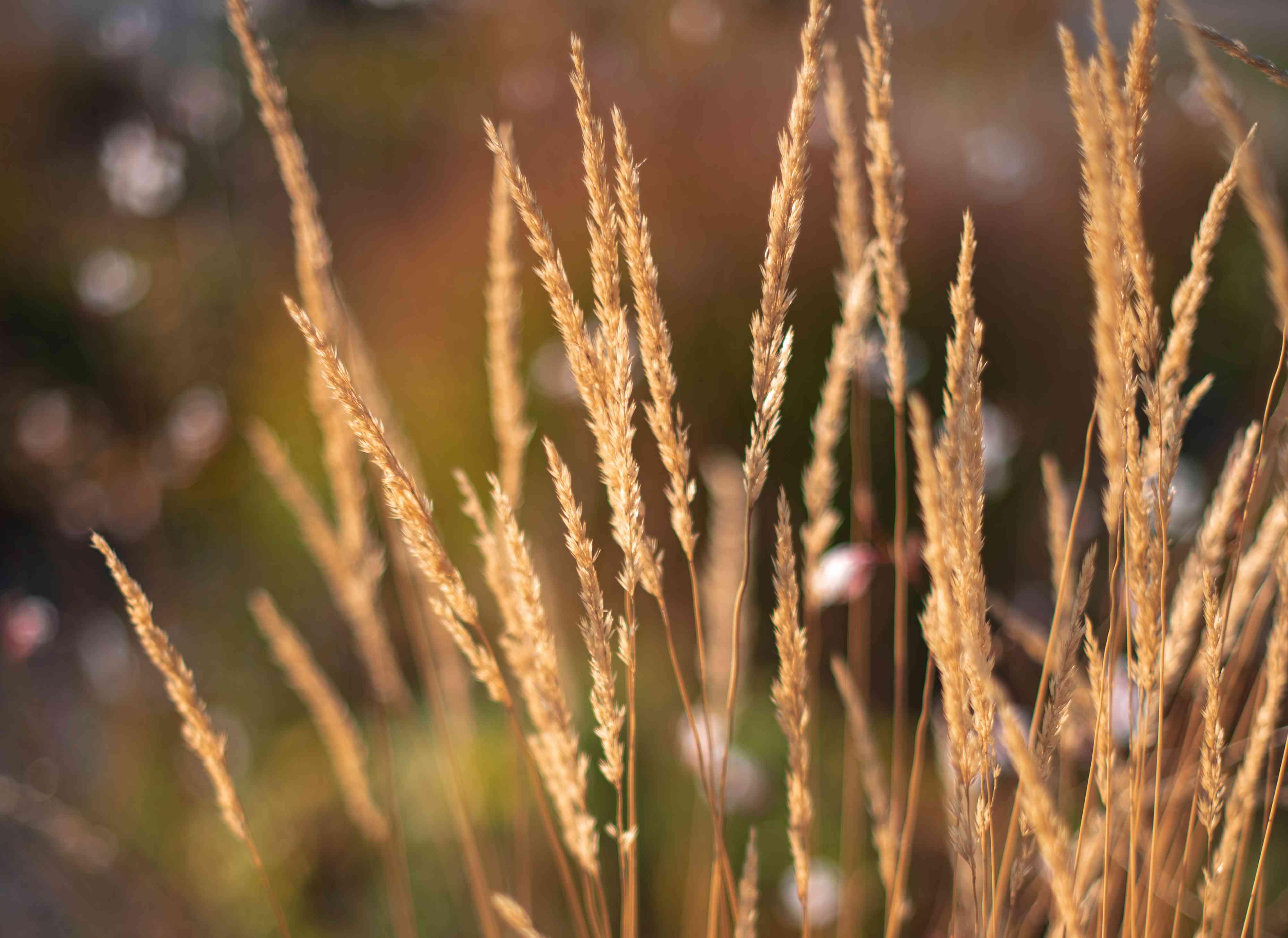 Feather reed grass closeup