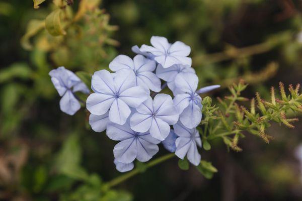 leadwort flower
