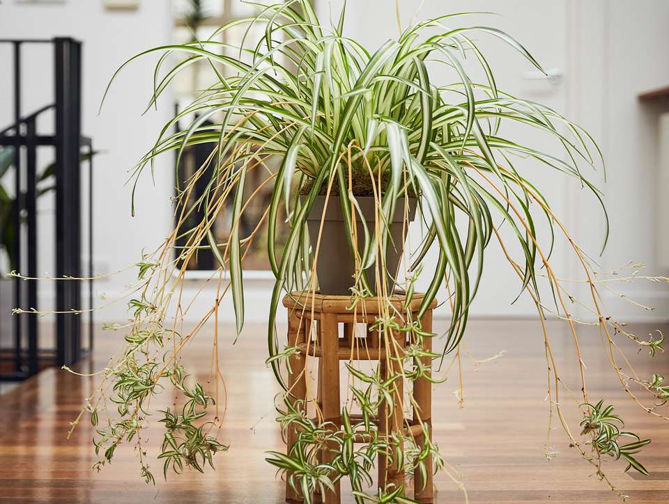 Mature spider plant with pups