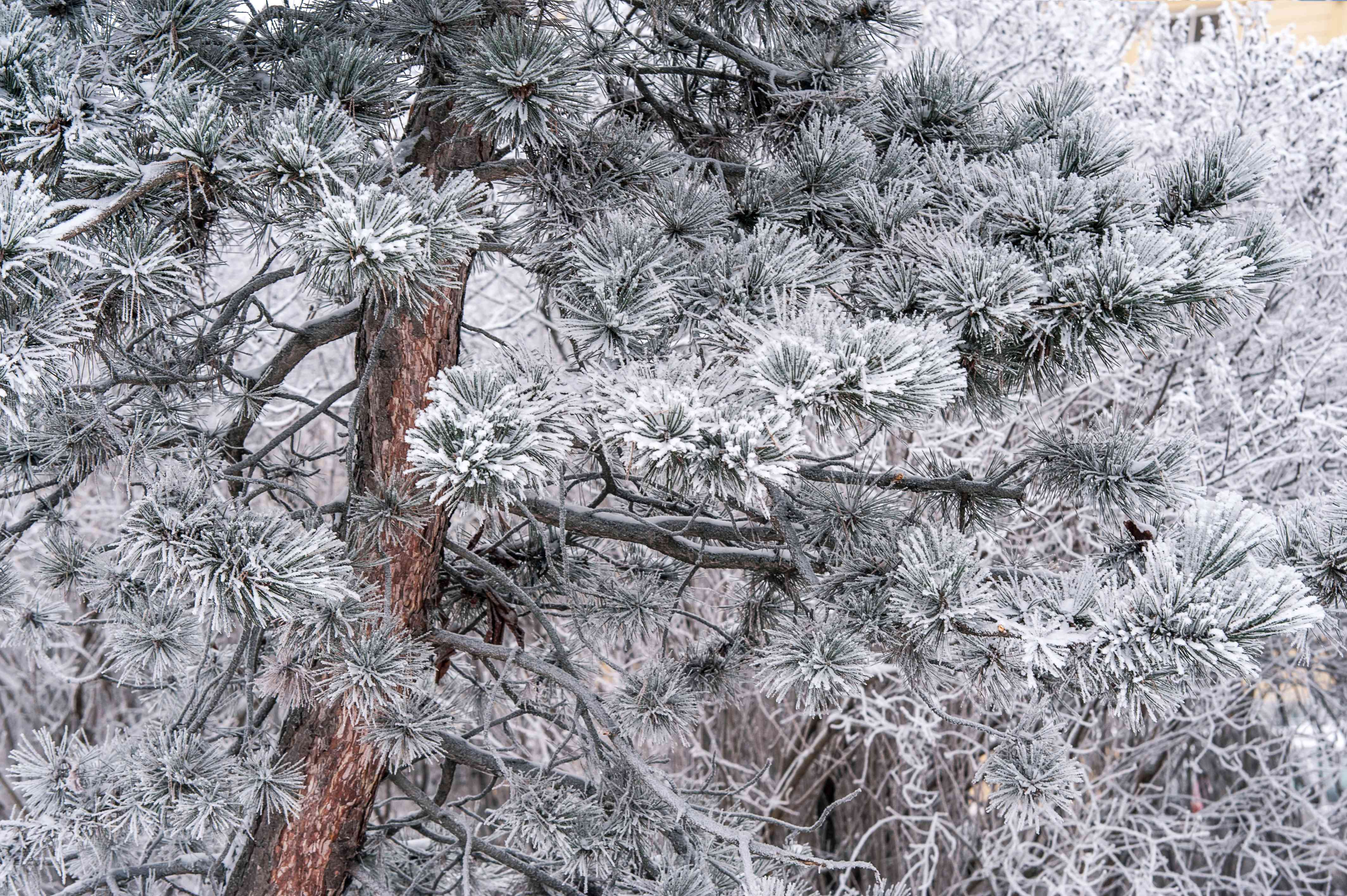 Scots pine in winter