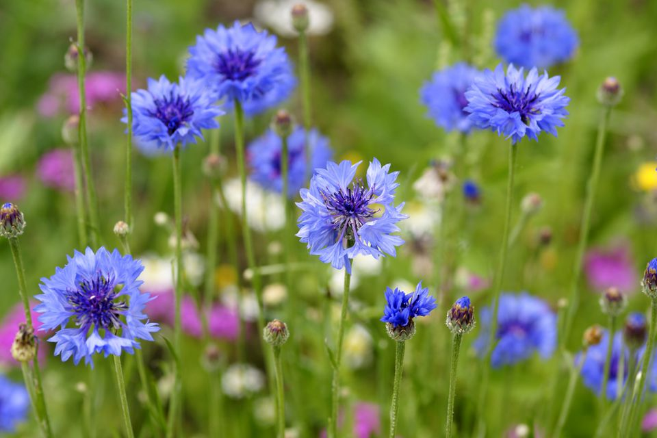 Many cornflowers are nice during the summer