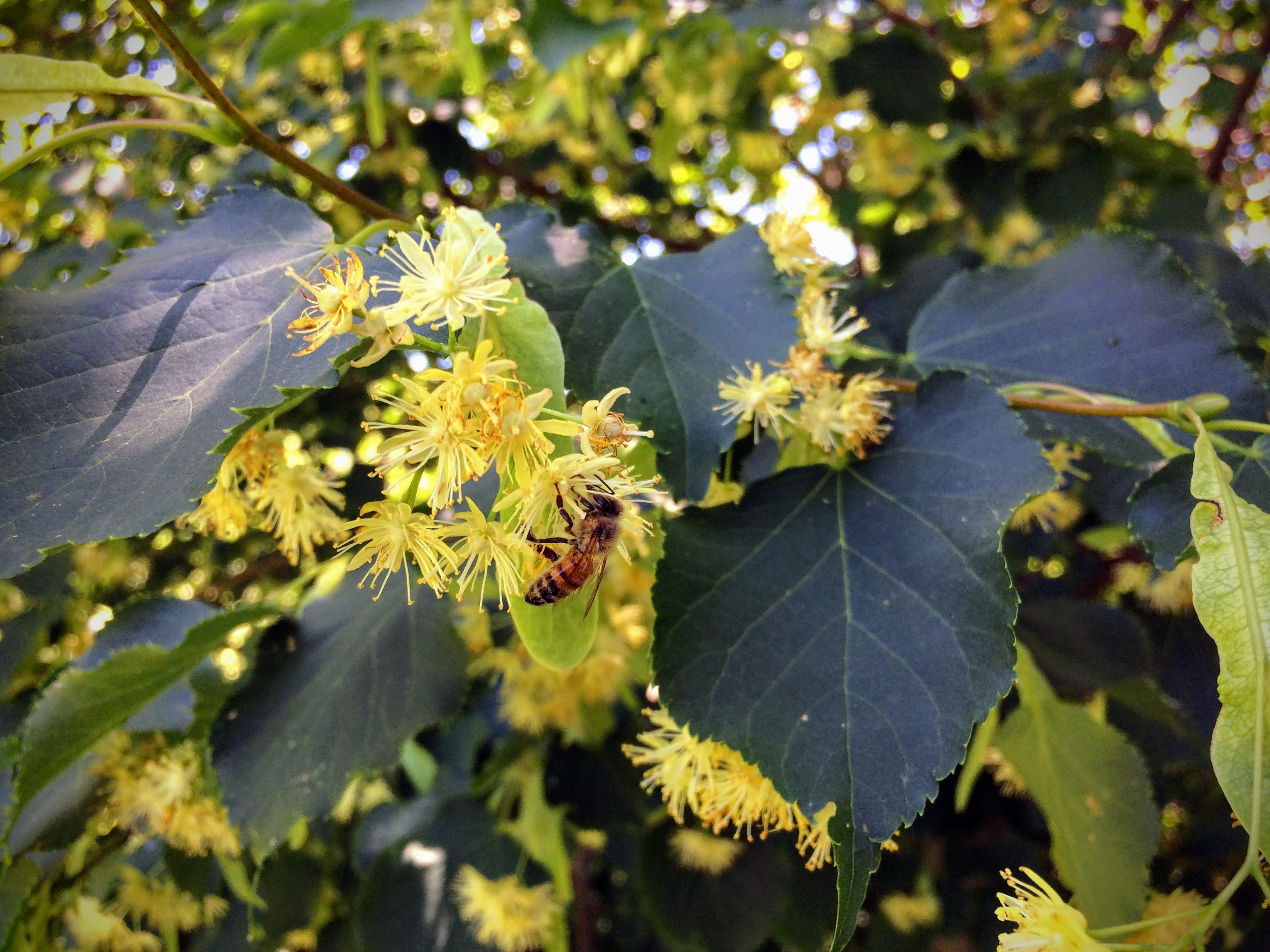 Honey Bee pollinating and collecting nectar on a Linden tree blossom