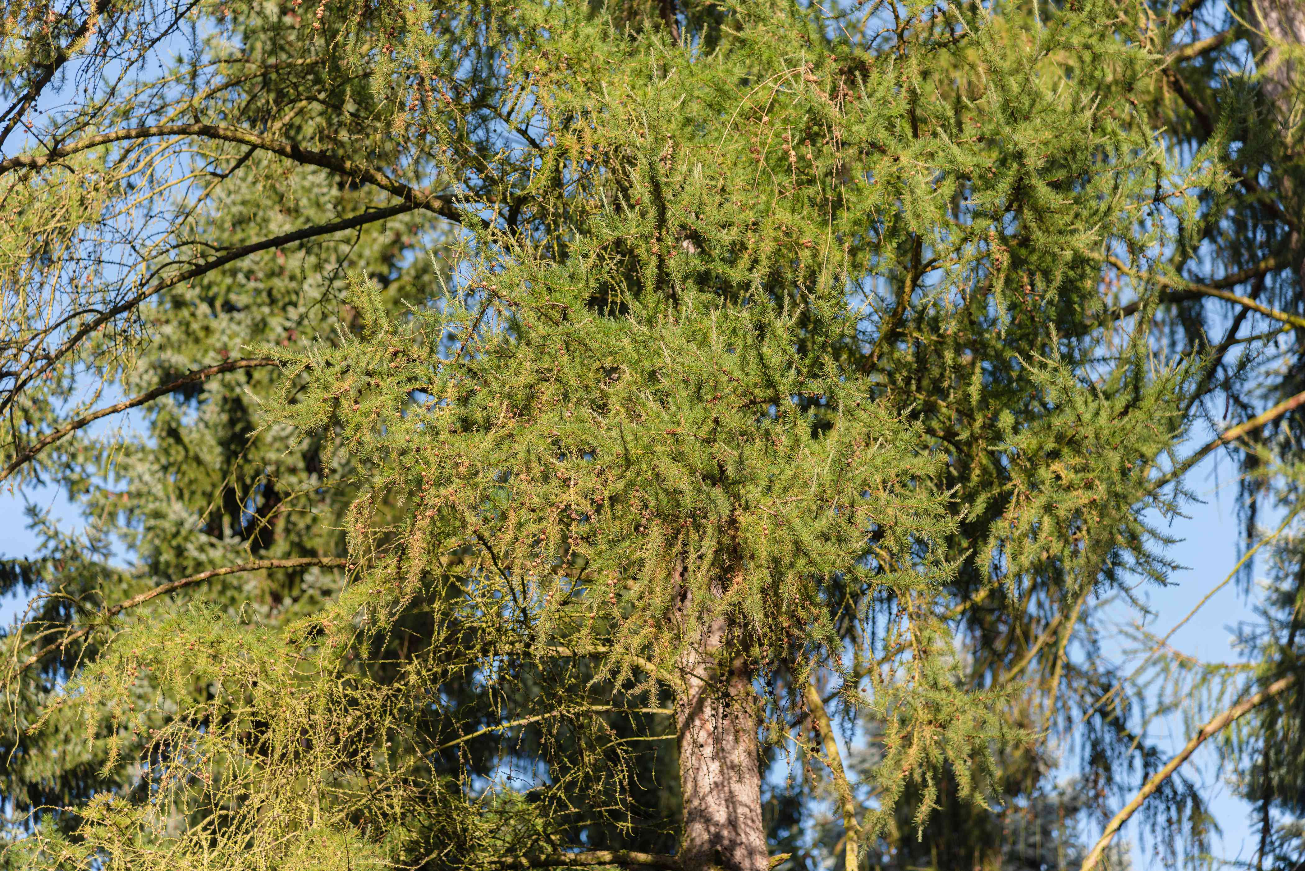 Tamarack tree with densely-covered branches of light green needles in sunlight