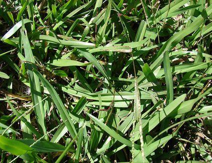 Close up image of common narrowleaf carpetgrass (Axonopus fissifolius)