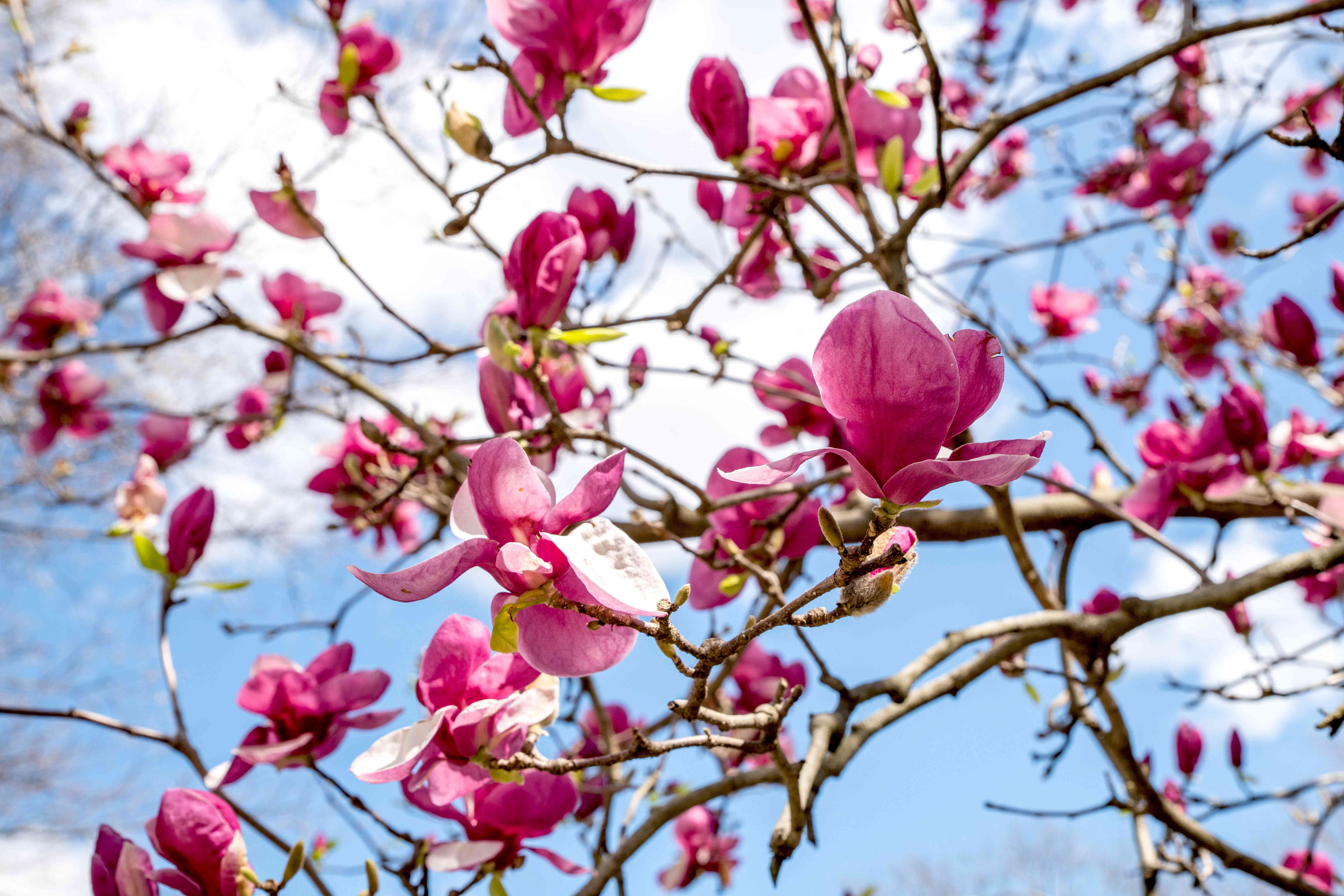 Magnolia 'Jane' shrub branches with large pink and white flowers and buds