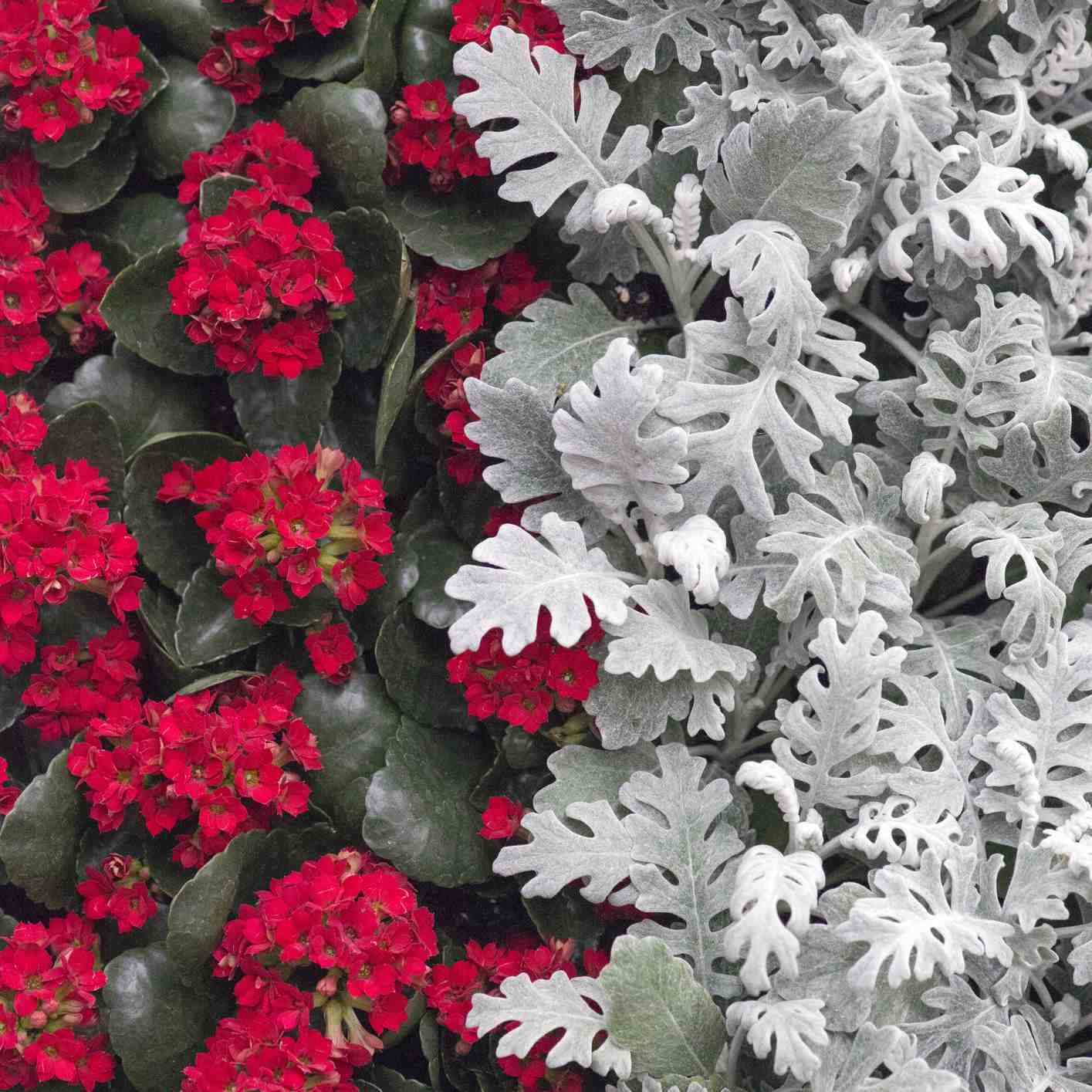 Dusty Miller and Red Flowers