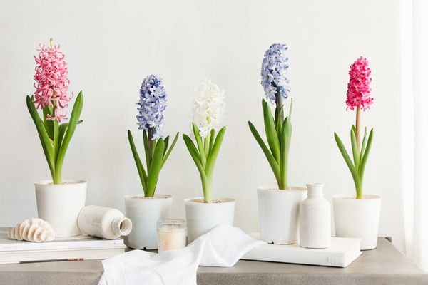 white, pink, and blue hyacinth flowers