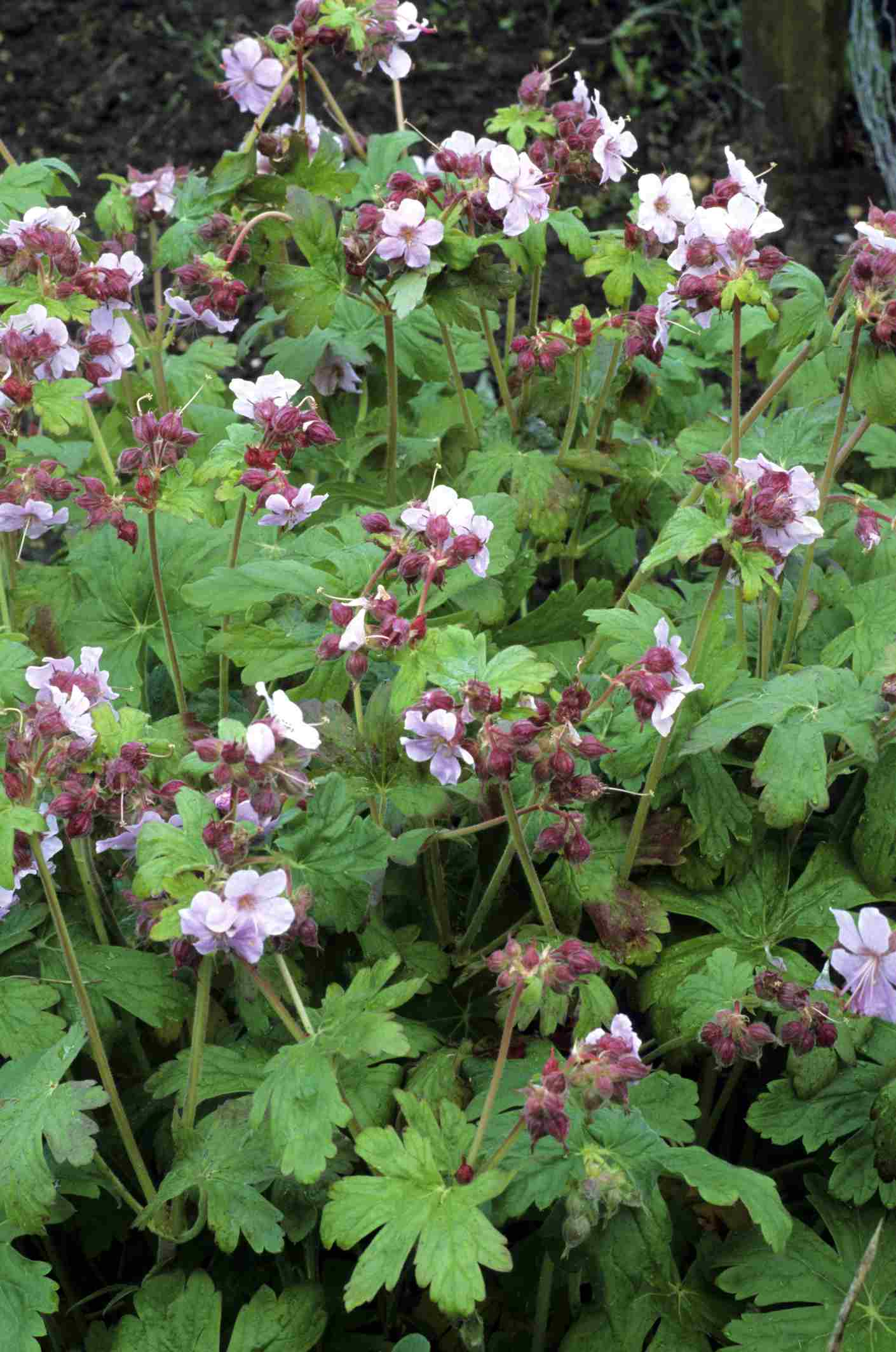 'Ingwersen's Variety' geraniums with pale pink flowers
