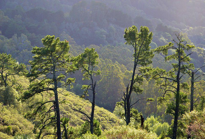 Shapely mature pine trees against a mountain backdrop.