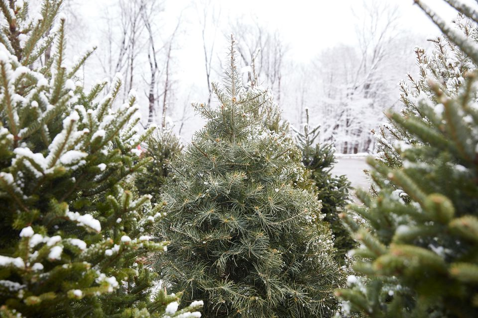 visiting a Christmas tree farm