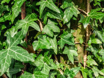 closeup of english ivy