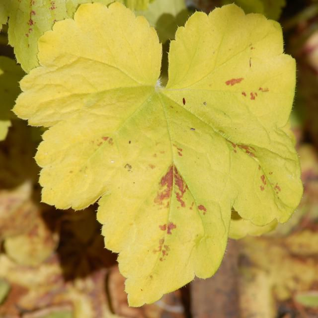 My photo of Solar Power foamy bells shows a leaf with few splotches.