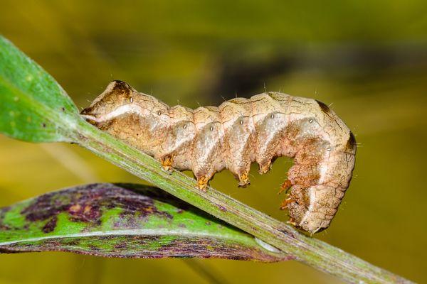 Brown caterpillar cutworm on a stem - stock photo