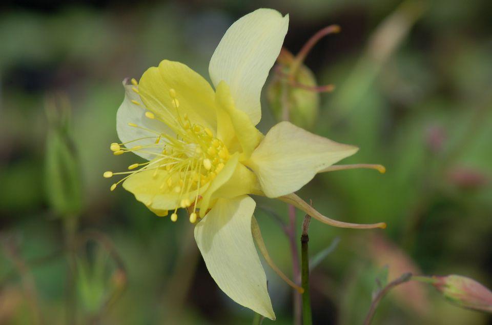 Yellow columbine flower.