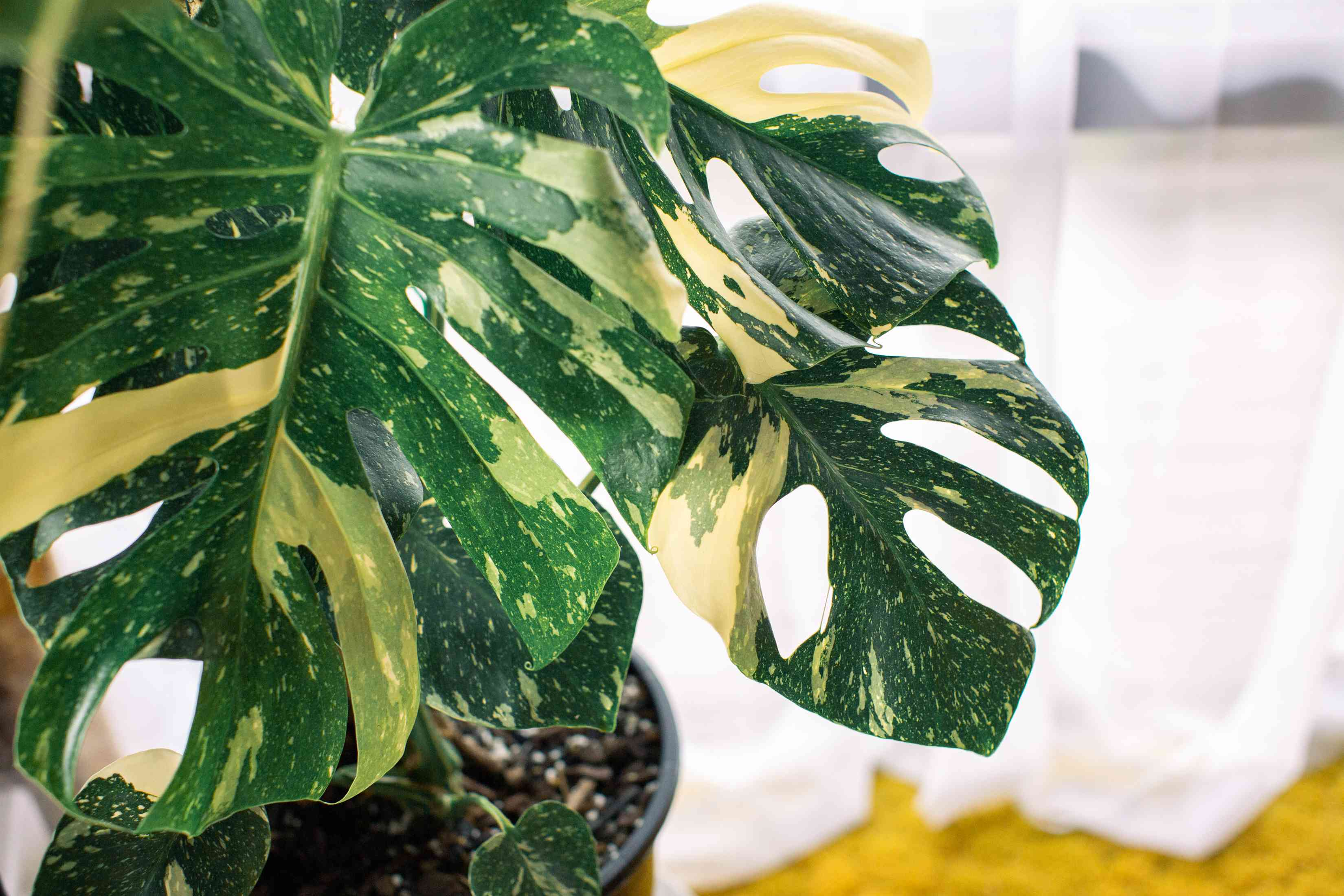 Monstera deliciosa 'Variegata' plant with white and green splotches on leaves with cutouts closeup